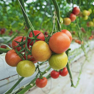 tomates-maraichage-baisses